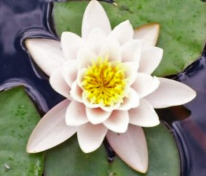 The Lotus represents Alice